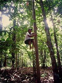 Jaguar Amazon Tours Manaus Brazil Jungle Survival Tour Josuel Crosa Climbing Acai Palm Tree