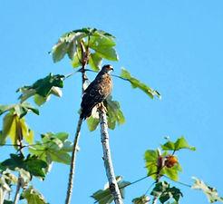 Jaguar Amazon Tours Manaus Brazil Snail Kite Hawk
