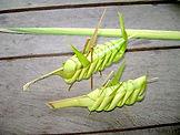 Jaguar Amazon Tours Manaus Brazil Adventure Tour Folded Palm Leaf Grasshoppers