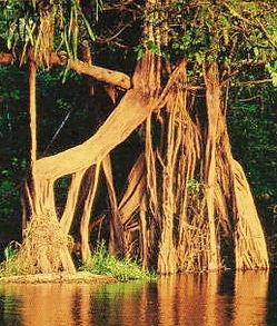 Jaguar Amazon Tours Manaus Brazil Day Trip Strangle Fig Tree