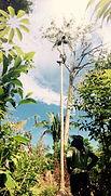 Jaguar Amazon Tours Manaus Brazil Adventure Tour Climbing the Acai Palm Tree