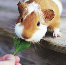 Feeding Guinea Pig