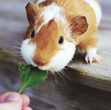 guinea pig vet