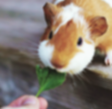 guinea pig eating a leaf
