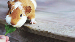 Being a Guinea Pig with Medicine