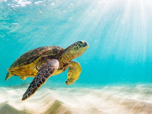 Sea Turtles Are Back