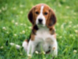 kerry-beagle-dog-in-flowers-photo.jpg