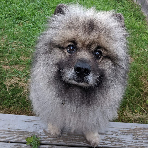 Woody-keeshond-info-page