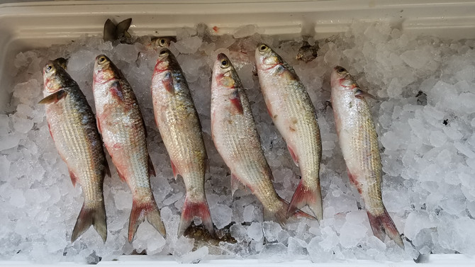 Fresh Mullet and Croaker for bait fishing for Tarpon and Old Drum