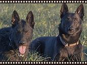 Zuchthunde von der Schozachaue