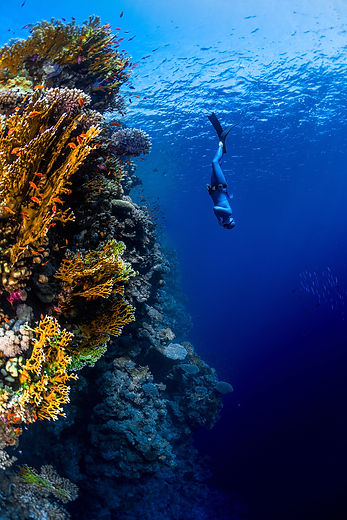Freediver descending along the vivid reef wall. Red Sea, Egypt.jpg