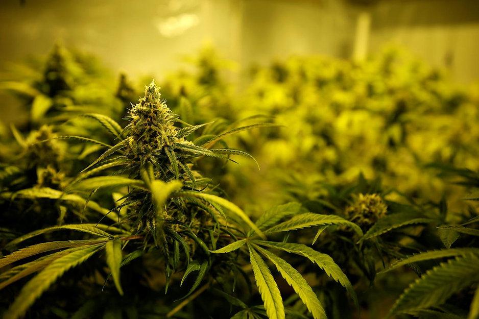 1019cannabispotent.jpg