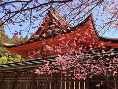 cherry-blossoms-805688_1920.jpg