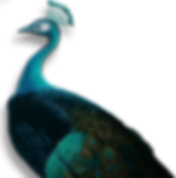 peacock_PNG19.png
