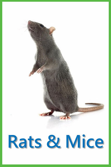 Rats & Mice.jpg