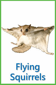 Flying Squirrels.jpg