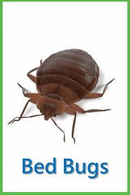 Bed Bugs.jpg