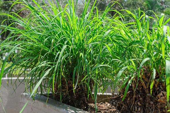 citronella-plants-mosquitoes-1558117754.