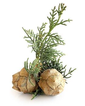 Cypress-Essential-Oil-Cupressus-sempervi