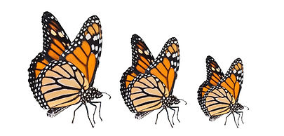 Trio de papillon- BioTransformation.jpg