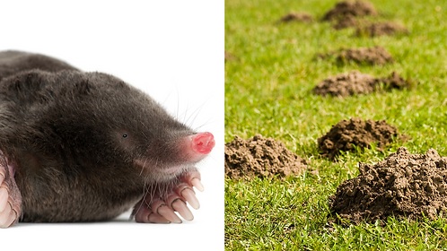 Moles/Gophers