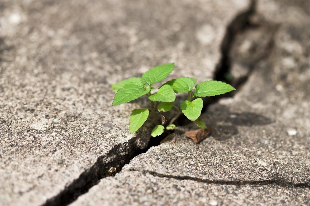 Weed growing through sidewalk crack
