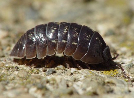 Pill Bugs: Fun Facts