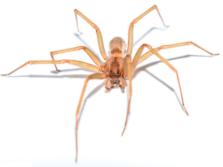 The Truth about Brown Recluse Spiders