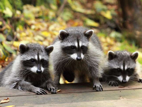 Unwanted Tenants? Get rid of Raccoons today!