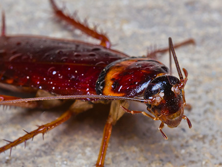 Cockroaches: Did You Know Cockroaches Can Cause Asthma Attacks?