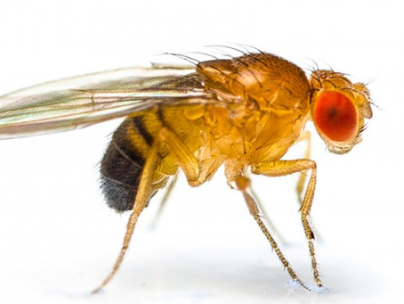Fascinating Facts about Fruit Flies