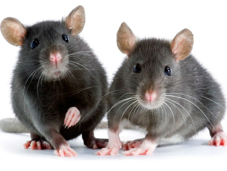 Why You Should Avoid Handling Rodent Problems Yourself