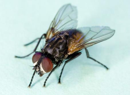 Flies: Why Nobody Likes Them