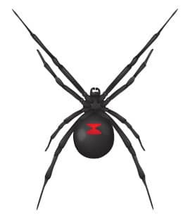 The Black Widow: Facts about the world's most venomous spider