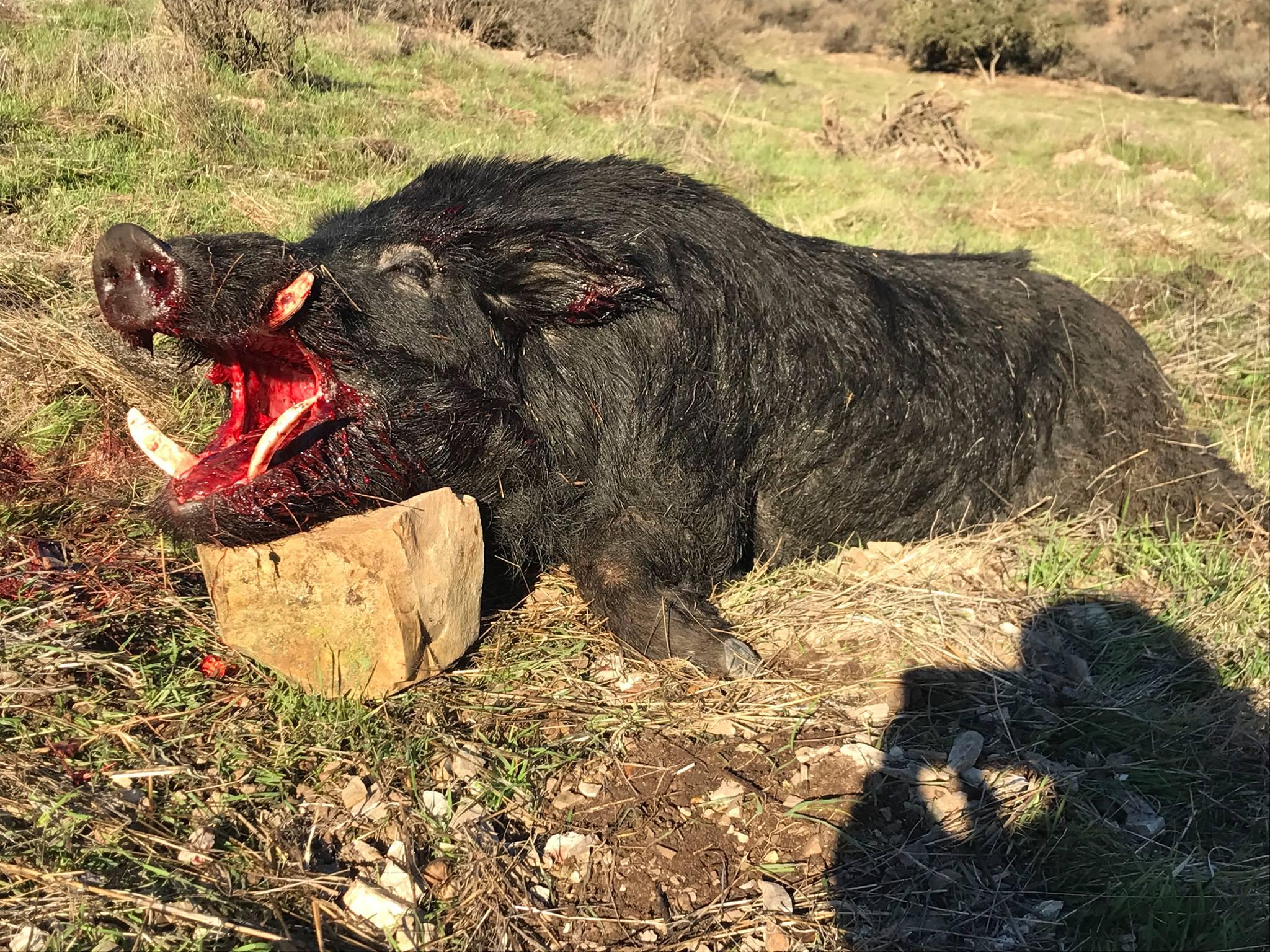 Trophy Boar