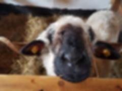 Schaf auf dem Archehof von Maximilians Kinder Arche