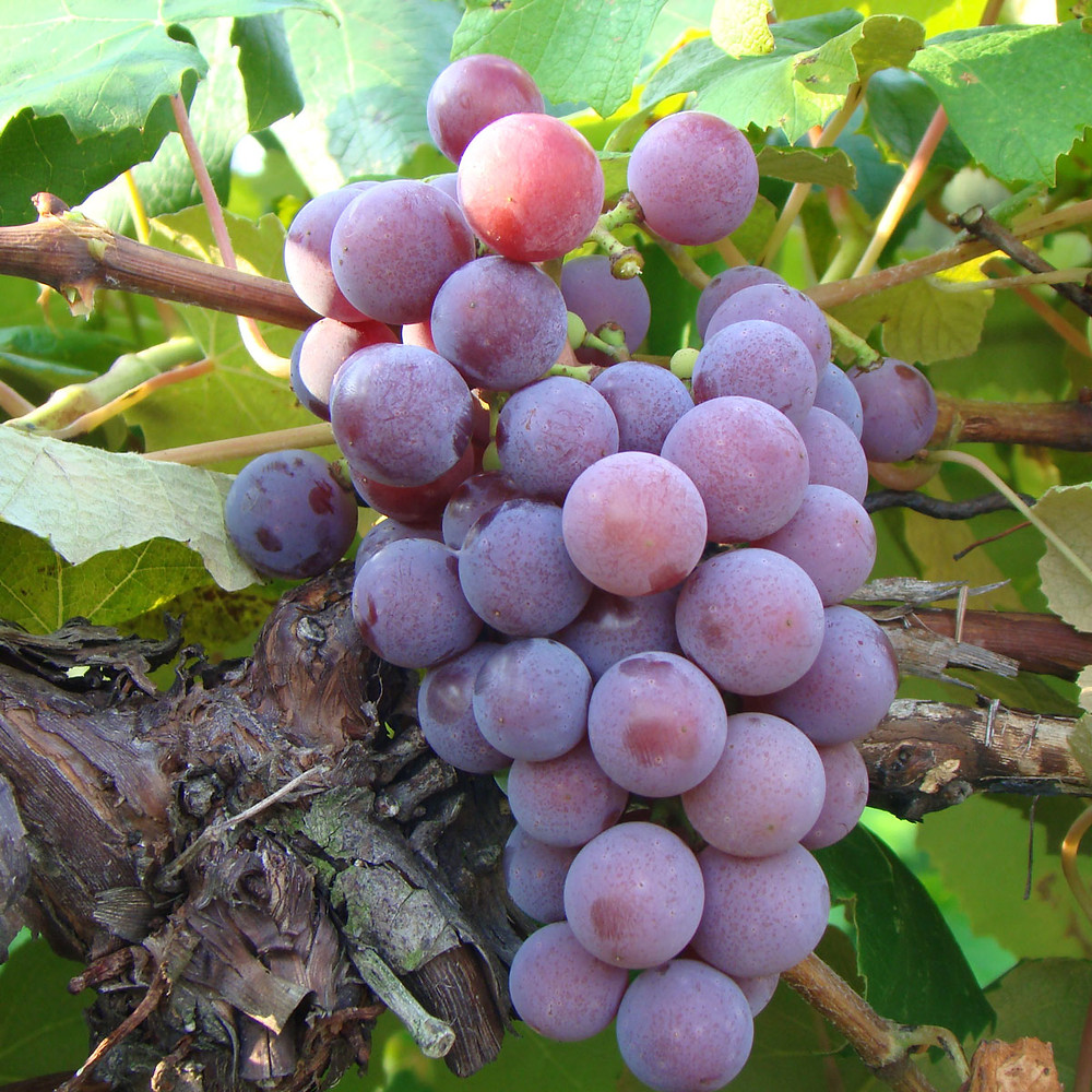Vidal Blanc Grape - Tears of Joy Vinoklet Wine