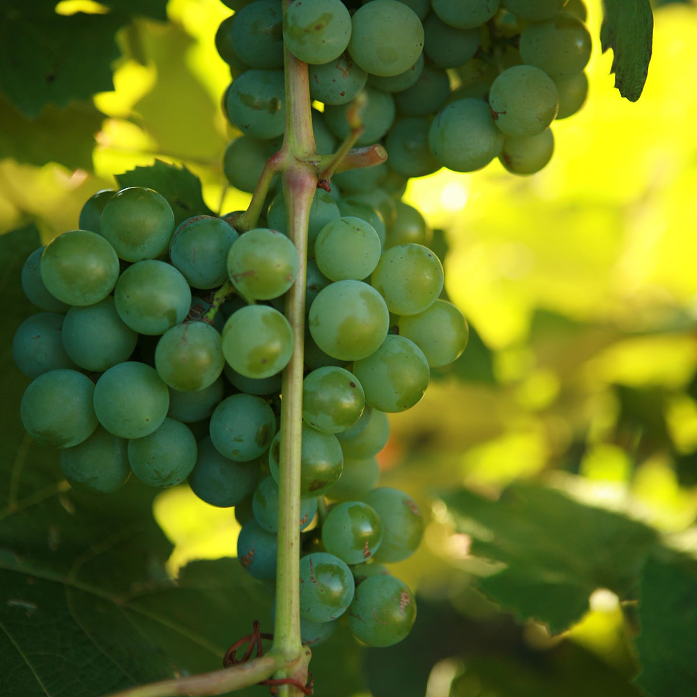 Niagara Grape - Vinoklet Winery Dreamer Wine.   Picture from Double A Vineyard