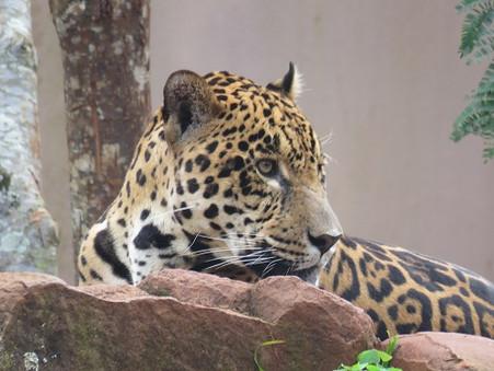 Parceria entre WWF-Brasil e Curicaca na conservação da onça-pintada é renovada