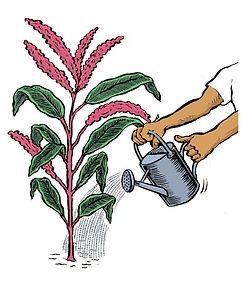 Amaranthus watering cartoon.JPG