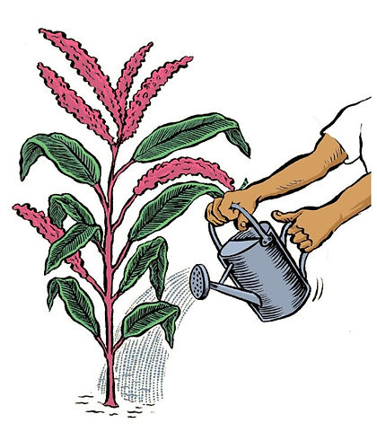 Amaranth plant cartoon.JPG