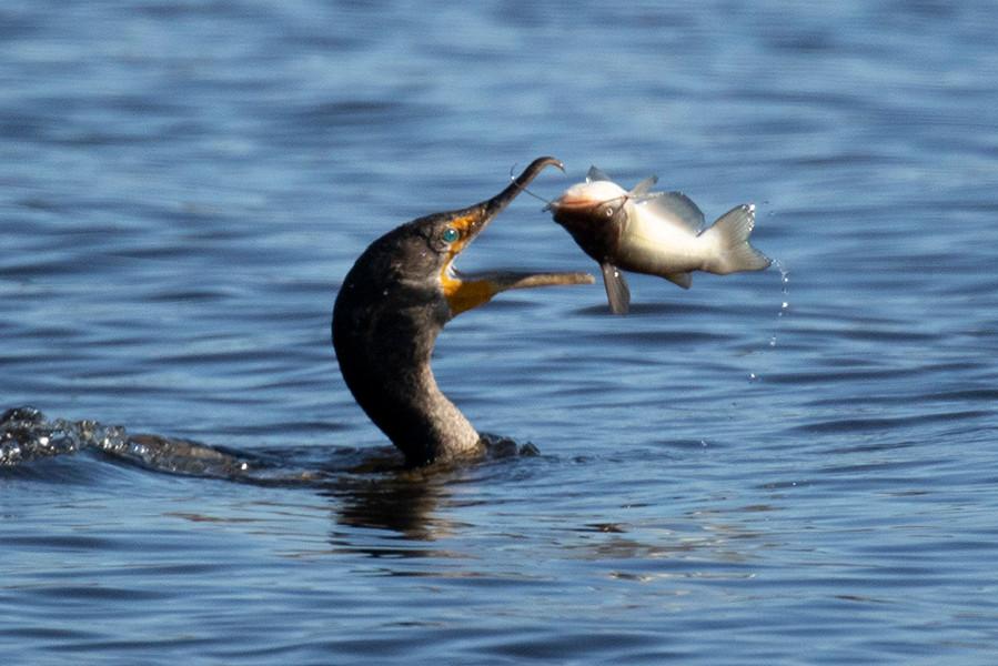 ANHINGA FISH3.jpg