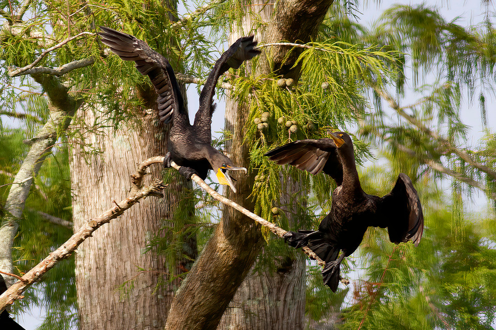 ANHINGA FIGHT IG.jpg
