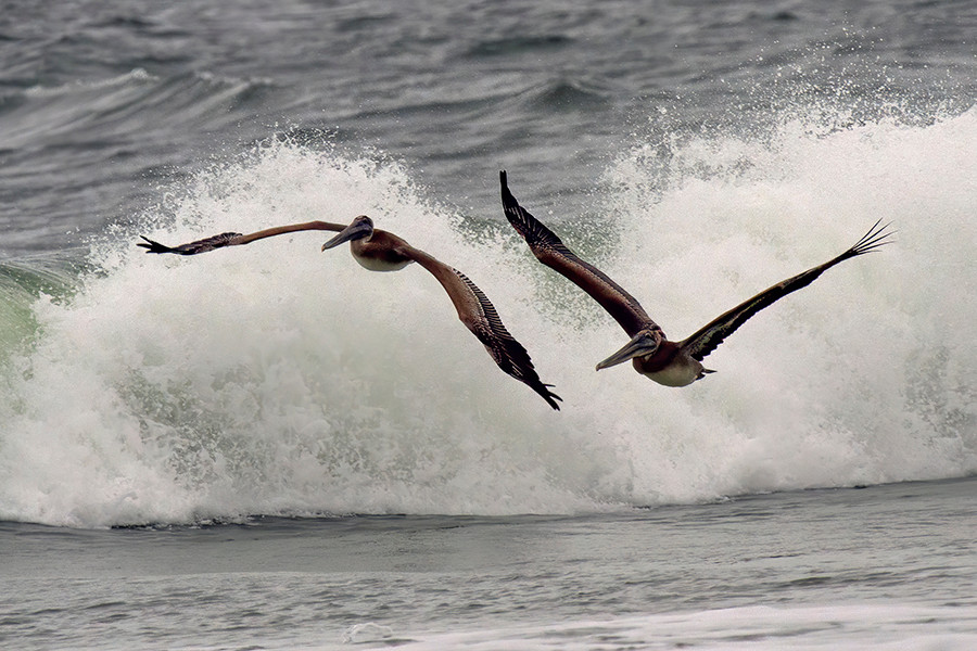 PELICAN SURFERS copy.jpg