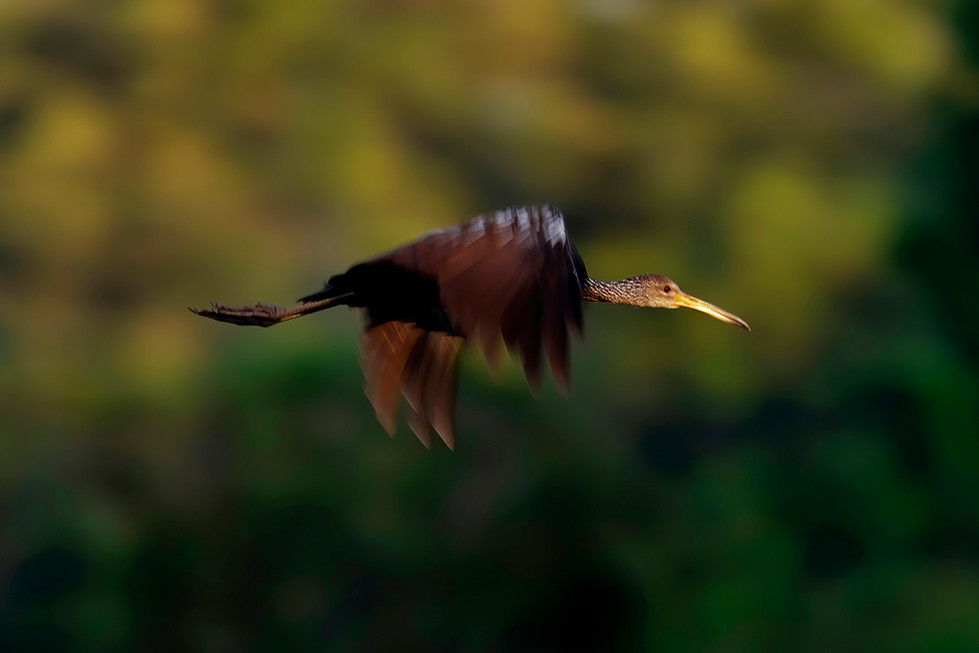 BLURRED LIMPKIN CROP.jpg