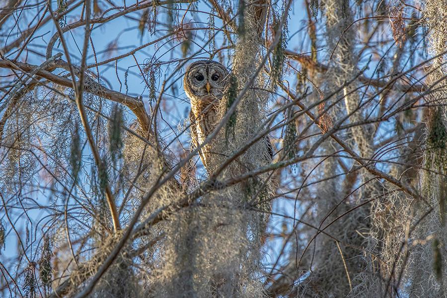 BARRED OWL MOSS.jpg