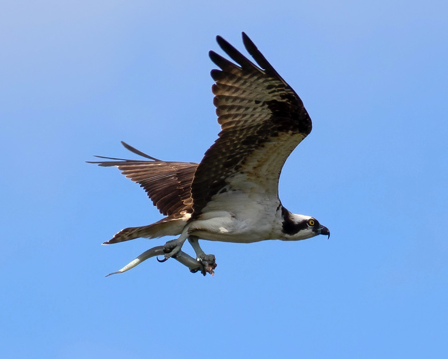 osprey catch.jpg