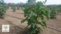 Paulownia Shan Tong Hybride Invitro