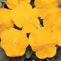 Pansy Spring Matrix Yellow