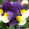 Nemesia Sunglow Purple Bicolor